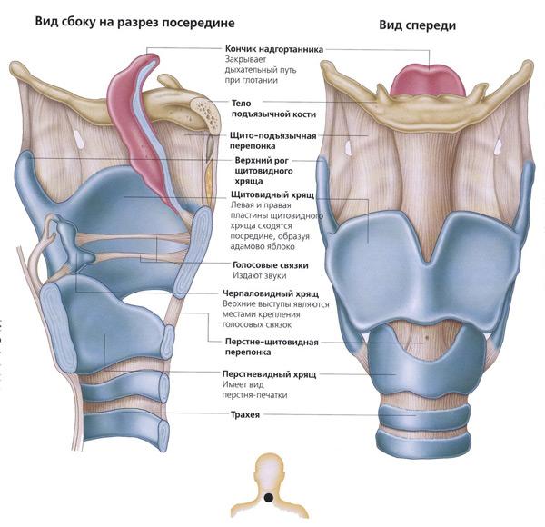 кадык: анатомия