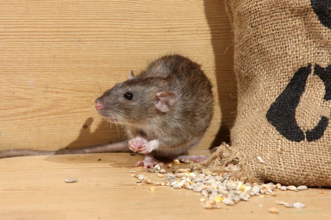 Как избавиться от мышиного запаха дома?