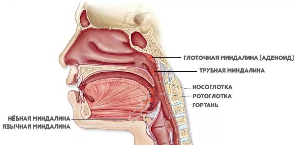 Лимфатический аппарат глотки