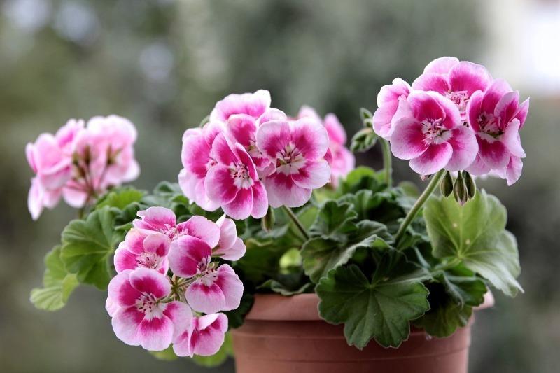 6 красивых цветов, от запаха которых человеку может стать дурно