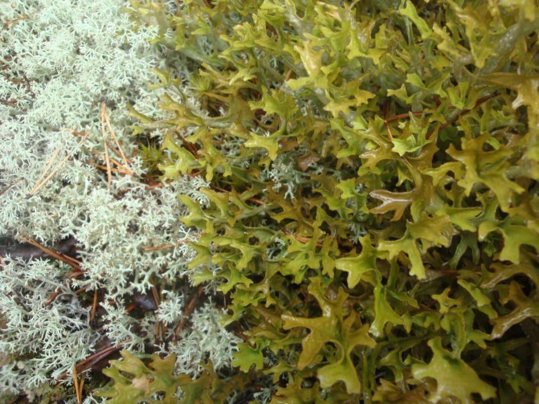 Исландский мох от кашля